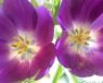 purpletulips_sm